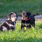 ,CATAHOULA-Louisiansky leopardi pes šteniatka
