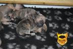 Pinče, bradáče, molosoidy a švajčiarske salašnícke psy,ARGENTÍNSKA DOGA