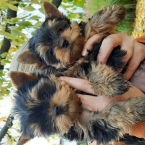 ,Yorshire terrier