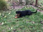 Pinče, bradáče, molosoidy a švajčiarske salašnícke psy,ROTVAJLER