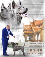 ,Thai Ridgeback dog