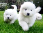 ,Krásne šteniatka samojedov