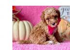 ,Krásne šteniatka pudlíka