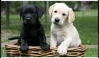 ,Rozkošné šteniatka labradora