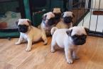 ,Registrovaní šteniatka a šteniatka Pug