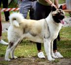 ,Chovný pes American Akita