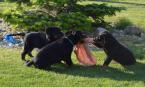 Ovčiaky a pastierske psy,BEAUCERON