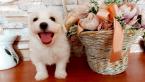 Spoločenské a sprievodné psy,MALTÉZSKY PSÍK