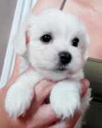 ,Maltèzsky psík
