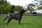 Pinče, bradáče, molosoidy a švajčiarske salašnícke psy,CANE CORSO