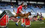 ,Belgický ovčiak Malinois, šteniatka