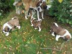 Pinče, bradáče, molosoidy a švajčiarske salašnícke psy,BERNARDÍN