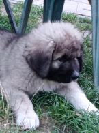 ,Kaukazský ovčiak - šteniatka