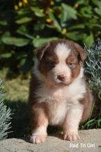 Ovčiaky a pastierske psy,AUSTRÁLSKY OVČIAK