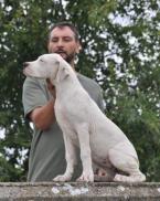 ,Argentínske doga, šteniatko