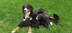 ,Bernský salašnícky pes