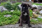 ,Boxer šteniatka