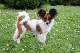 ,Papillon - šteniatko pes na predaj