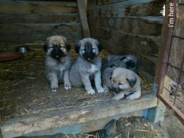 ,Kaukazsky ovciak
