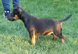 ,Mini Bull terrier Fenka