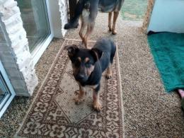 ,šteniatka - 2 sučky nemeckého ovčiaka
