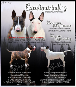 , Bullterrier puppies