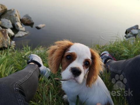 Spoločenské a sprievodné psy,Stratil sa kavalier