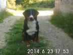 Stratil sa Appenzellský salašnícky pes