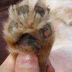 poškodené labky u psa 2